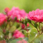 Como atuam as essências florais
